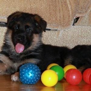Продаются племенные щенки немецкой овчарки.