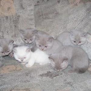 Продам британских котят лилового окраса.