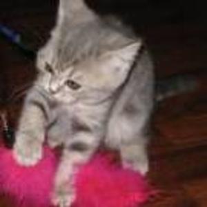 Продам шотландскую кошечку,  окрас - голубая мраморная