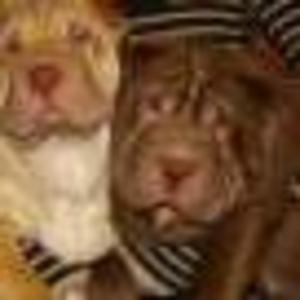Продам щенка Шарпея шоколадного окраса