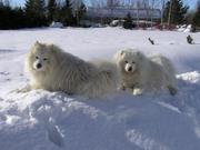 Предлагаем очаровательных щенков самоедской лайки